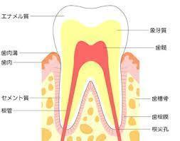 歯を横からみた図