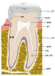 歯の断面図